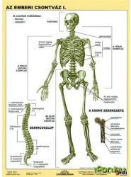 Stiefel Tanulói munkalap, A4, Az emberi csontváz