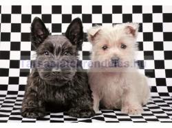 Educa Fekete-fehér terrier kutyusok 500 db-os (15508)