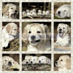 Schmidt Spiele Golden retriever kutyakölykök 1000 db-os