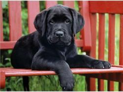 Clementoni Fekete kutya 500 db-os (30346)