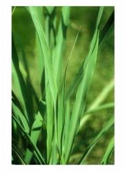 Andió Bio Citromfűolaj 10ml