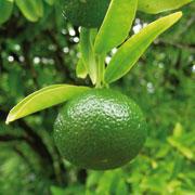 Farfalla Bio Zöld Mandarin Illóolaj 10ml