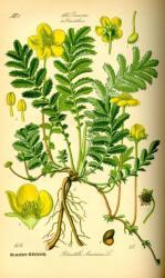 Herbatrend Libapimpófű 40g