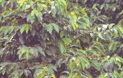 Semiramis Guatemala Antiqua Potrero, szemes, 1kg