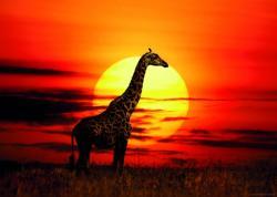 Heye Sunny Giraffe - Zsiráf a naplementében 1000 db-os (29688)
