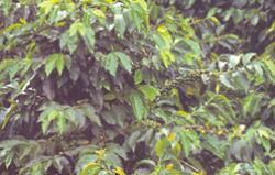 Semiramis Brazilia Yellow Bourbon, szemes, 500g