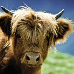 Heye Highland Cow 1000 db-os