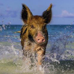 Heye Paradise Pig (Weingarten Edition) 1000 db-os (29746)