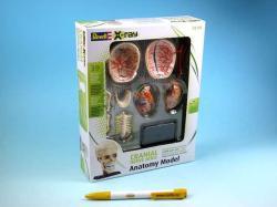 Revell X-ray SnapKits 02.102 - modell emberi koponya