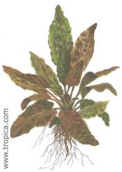 Cryptocoryne wendtii brown