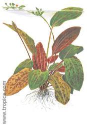 Echinodorus Ozelot XL