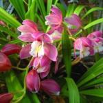 Csónakorchidea (Cymbidium hybridus - Cymbidium Orchid) Bailey virágeszencia 10ml