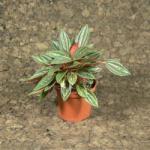 Törpebors (Peperomia caperata 'rosso')